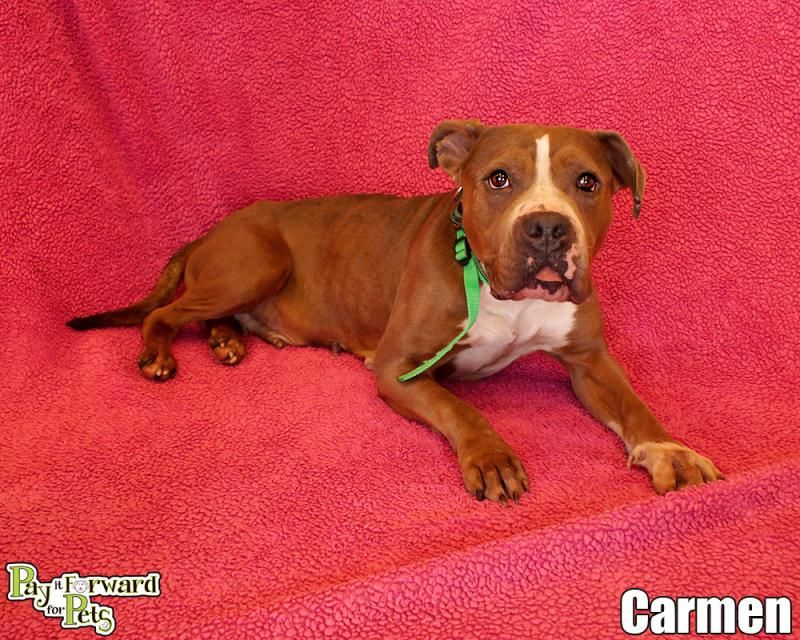 Adopt Carmen On Terrier Dogs Dogs Animals