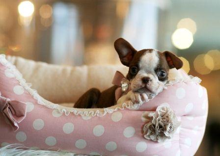 Boston Terrier puppy, yes please!!!
