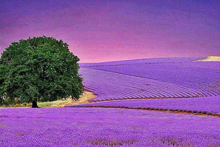 Farbe Lavendel