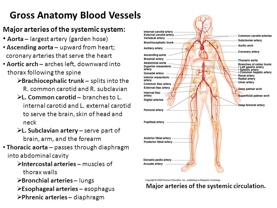 Gross Anatomy Of Blood Vessels Introduction Anatomy Note World