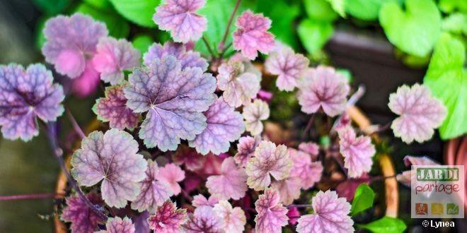 Quand planter les heuchères ?   Creation jardin, Fleur ...