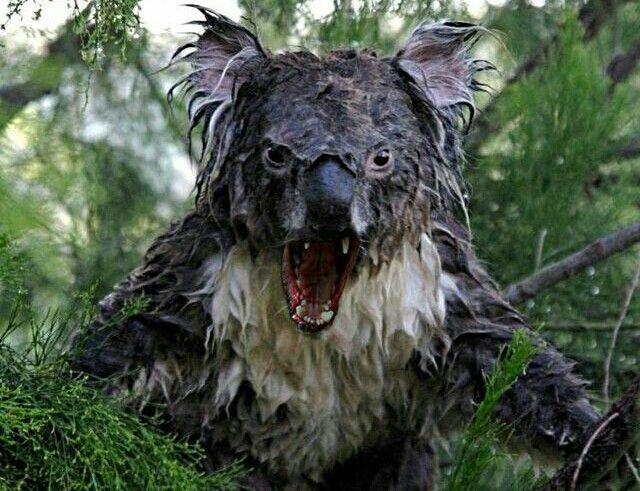 Wet Koala Lustige Tiere Gruslige Tiere Susseste Haustiere