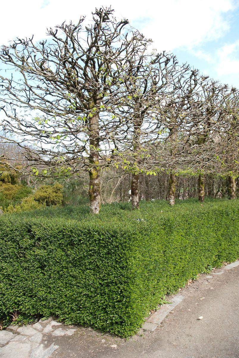 Lonicera Nitida Silver Cloud Hedge Rhs Rosemoor Front Garden Ideas Driveway Garden Ideas Driveway Outdoor Gardens