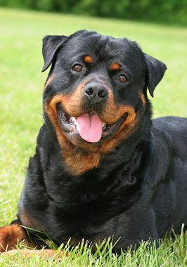 Rottweiler Dog Breed Information With Images Rottweiler Dog