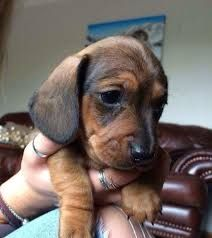 Image Result For Shaded Red Dachshund Red Dachshund Dachshund