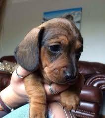 Teacup Dachshund Puppies For Sale Zoe Fans Blog Dachshund