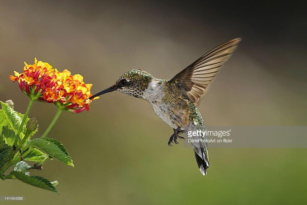 Ruby Throated Hummingbird feeding on Lantana