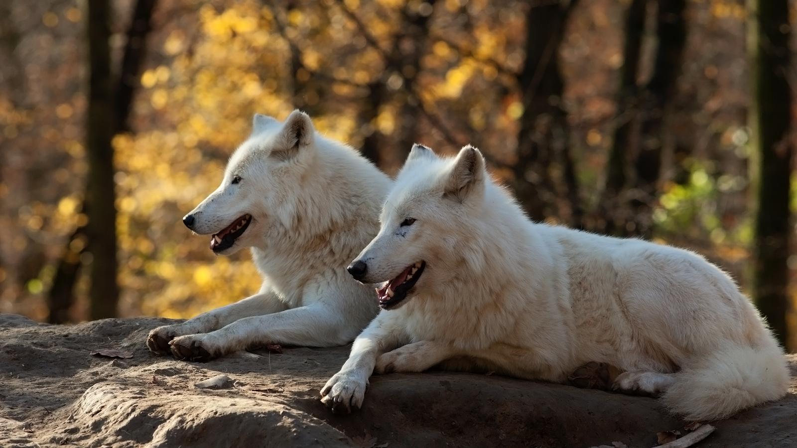 белые волки пара картинки ланцетные или яйцевидные