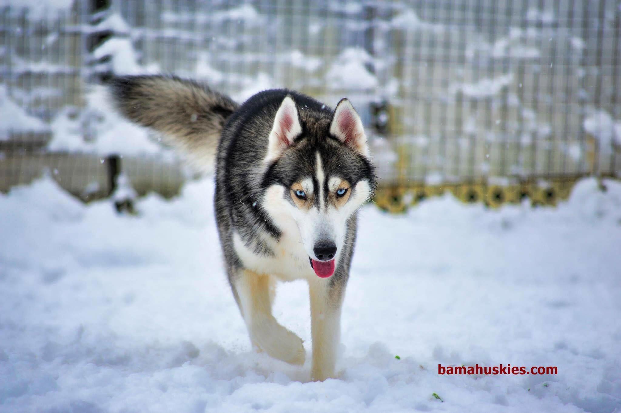 All About Athletic Siberian Huskies Temperament Siberianhuskylove
