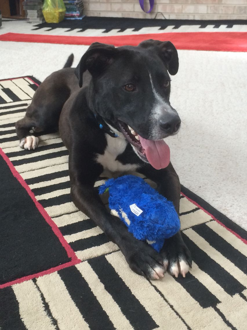 Thomas! American Staffordshire Terrier/Lab mix! | My Kids ...