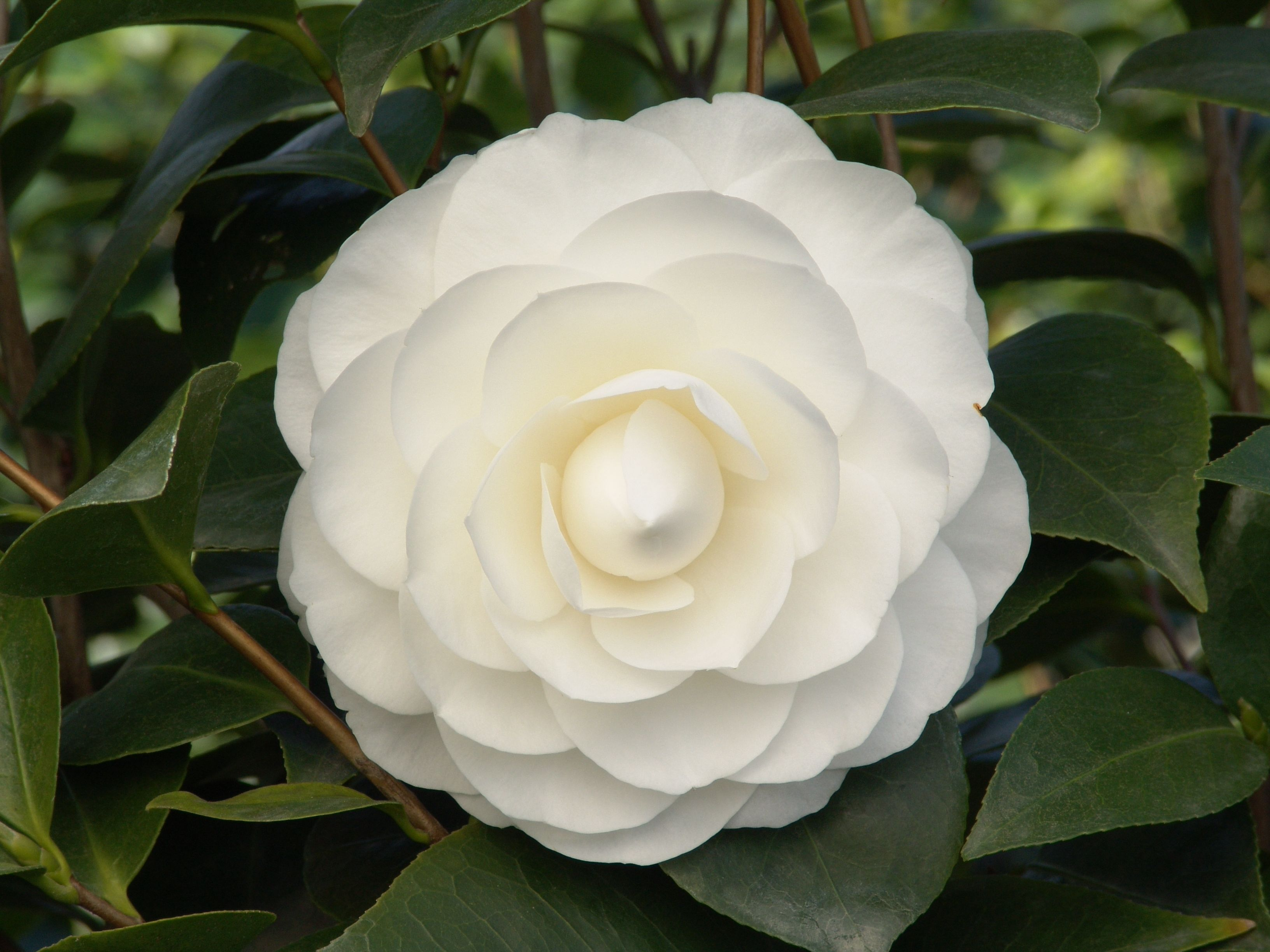 Nuccio S Gem Camellia S Sparkling White Formal Double Blooms Contrast Well With The Glossy Dark Green Foliage Filter Camellia Flower Perfect Plants Flowers