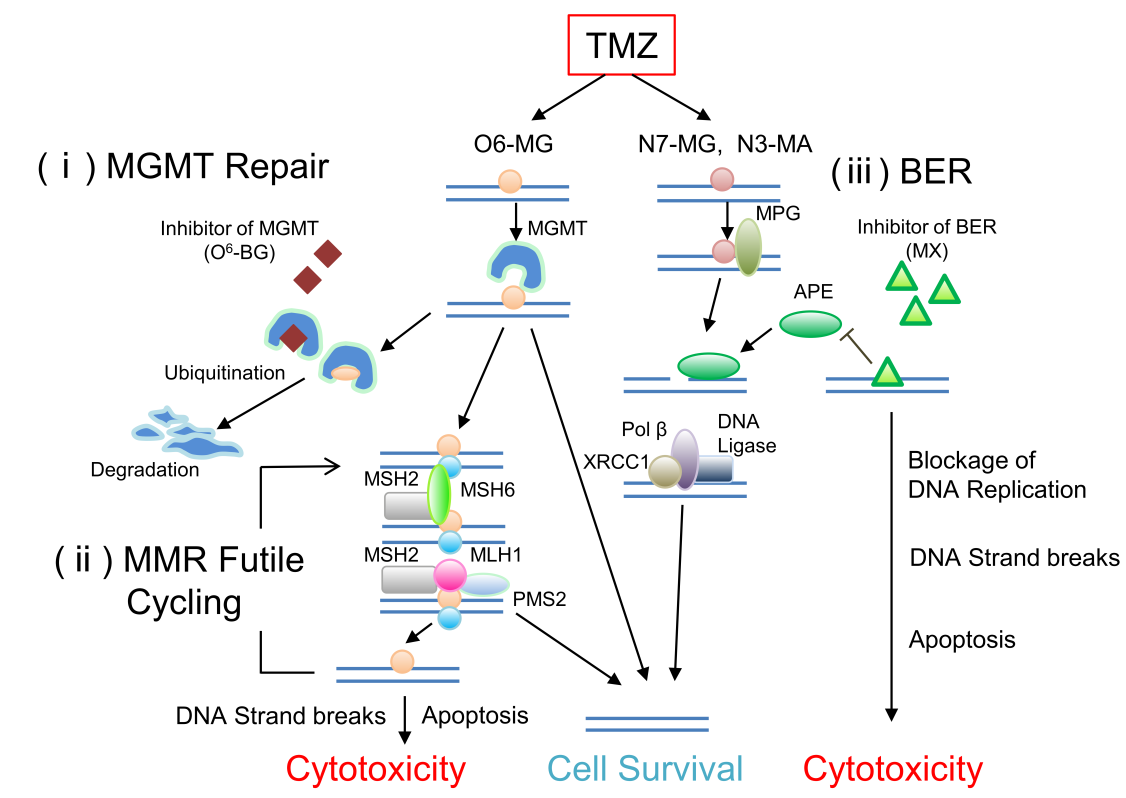 mechanisms drug resistance to cancer chemotherapy Mechanisms of resistance include: increased efflux or decreased influx of cytotoxic drugs insufficient activation of the drug increased inactivation of the drug increased concentration of target enzyme rapid repair of dna lesions or mutations in various genes.
