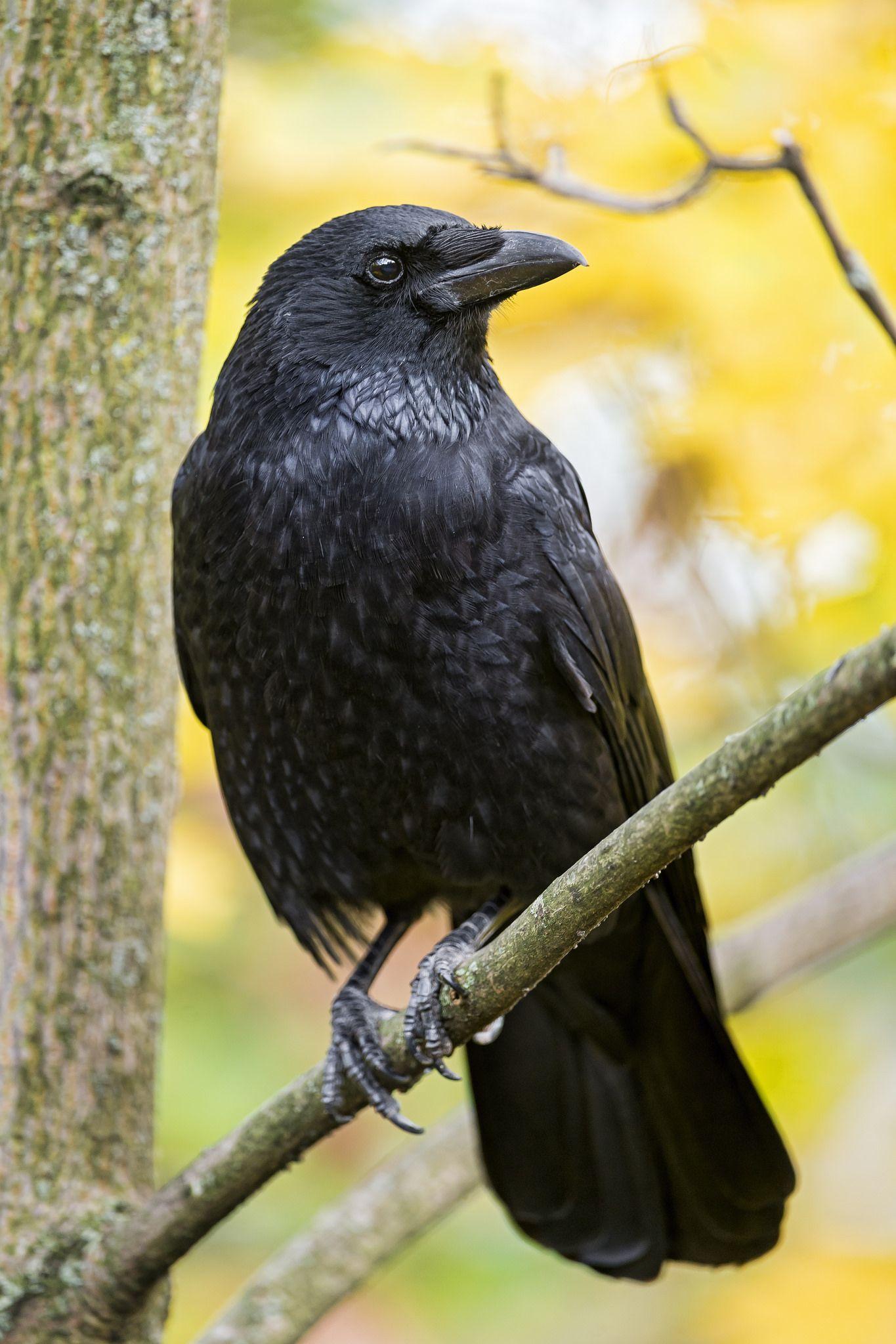 Crow on the tree | Crow, Crow bird, Raven bird