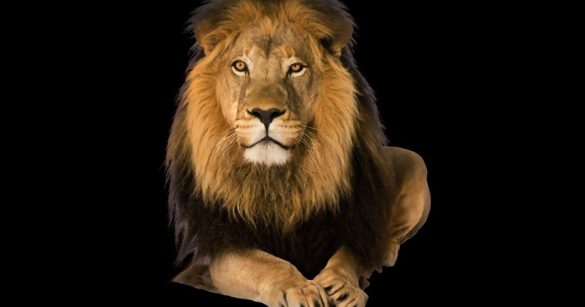 32 Lion Mobile Phone Wallpaper Free Download Mobile Phone Wallpapers Download 76 1440x1280 Feline White Lio In 2020 Lion Hd Wallpaper Phone Wallpaper Lion Wallpaper