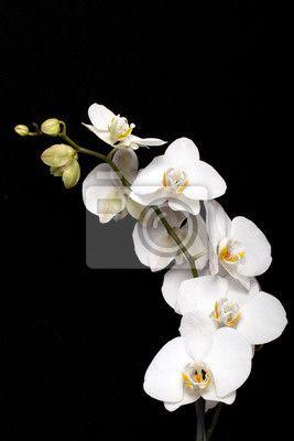 Tableau Sur Toile Orchidee Blanche Isole Sur Fond Noir Pixers