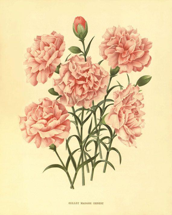 Pink carnation Antique flower art print vintage botanical prints ...