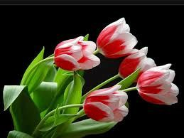 beautiful tulips wallpapers - Google-Suche