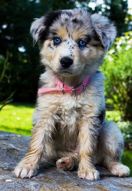Australian Shepherd Puppy Pretty Dogs Cute Animals Cute Dogs