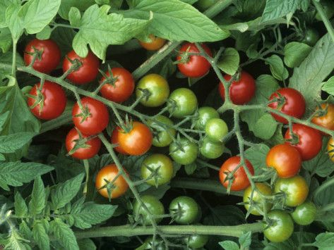 Growing Sweet 100 Cherry Tomatoes Inside How Does Our Garden Grow