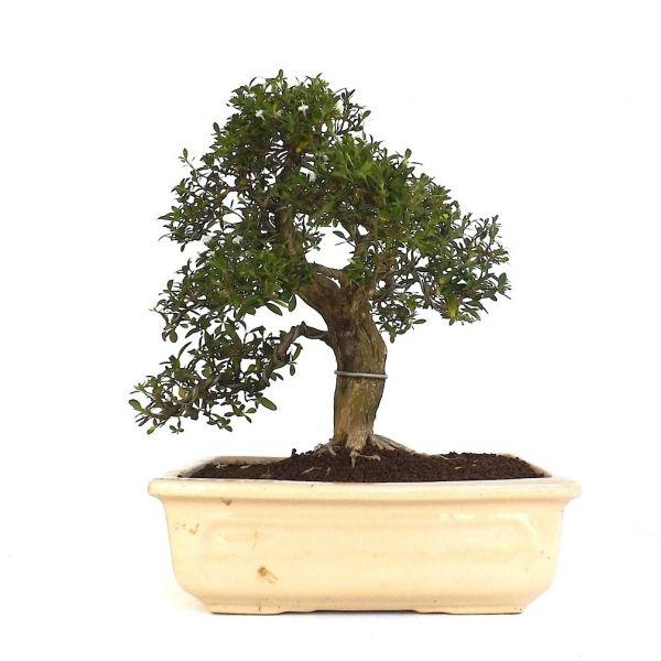vente de bonsai int rieur serissa indon sien 35 cm 140904 sankaly bonsa achat vente de bonsa. Black Bedroom Furniture Sets. Home Design Ideas