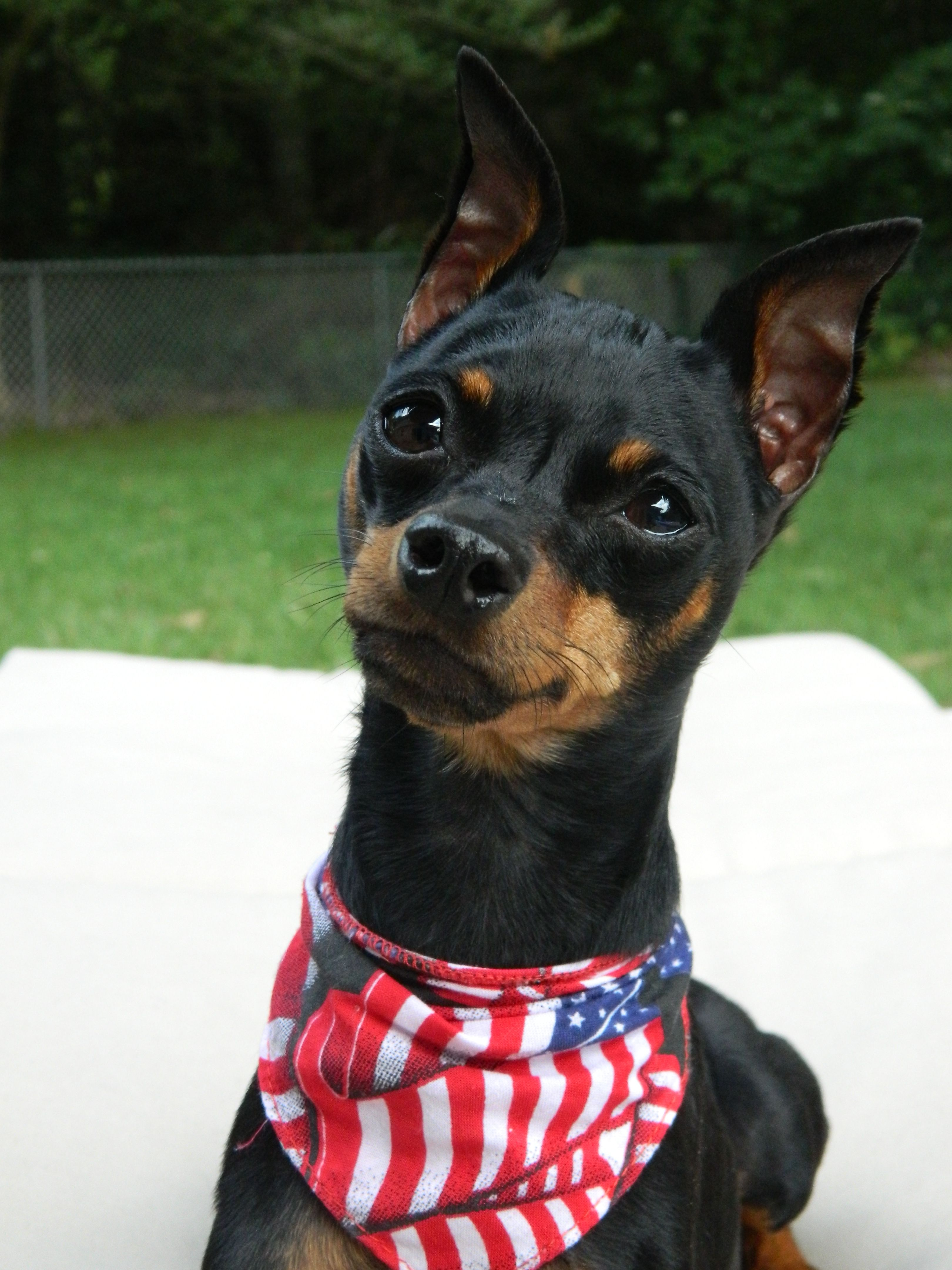 Our 3 Year Old Miniature Pinscher Quest Was Diagnosed With A