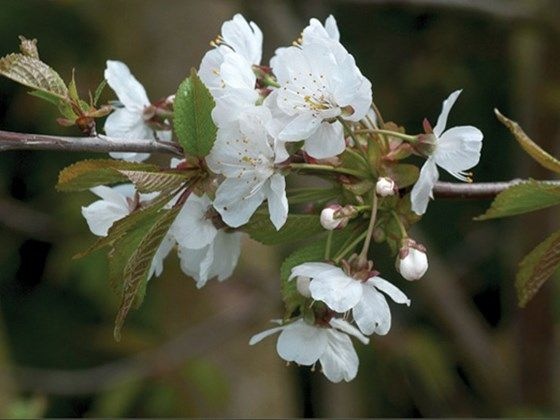 Bird Cherry Prunus Padus Is A Deciduous Tree Native To The Uk And Europe It Is Commonly Found In Wet Woodland Hedgerows And Stream And River Banks Althoug