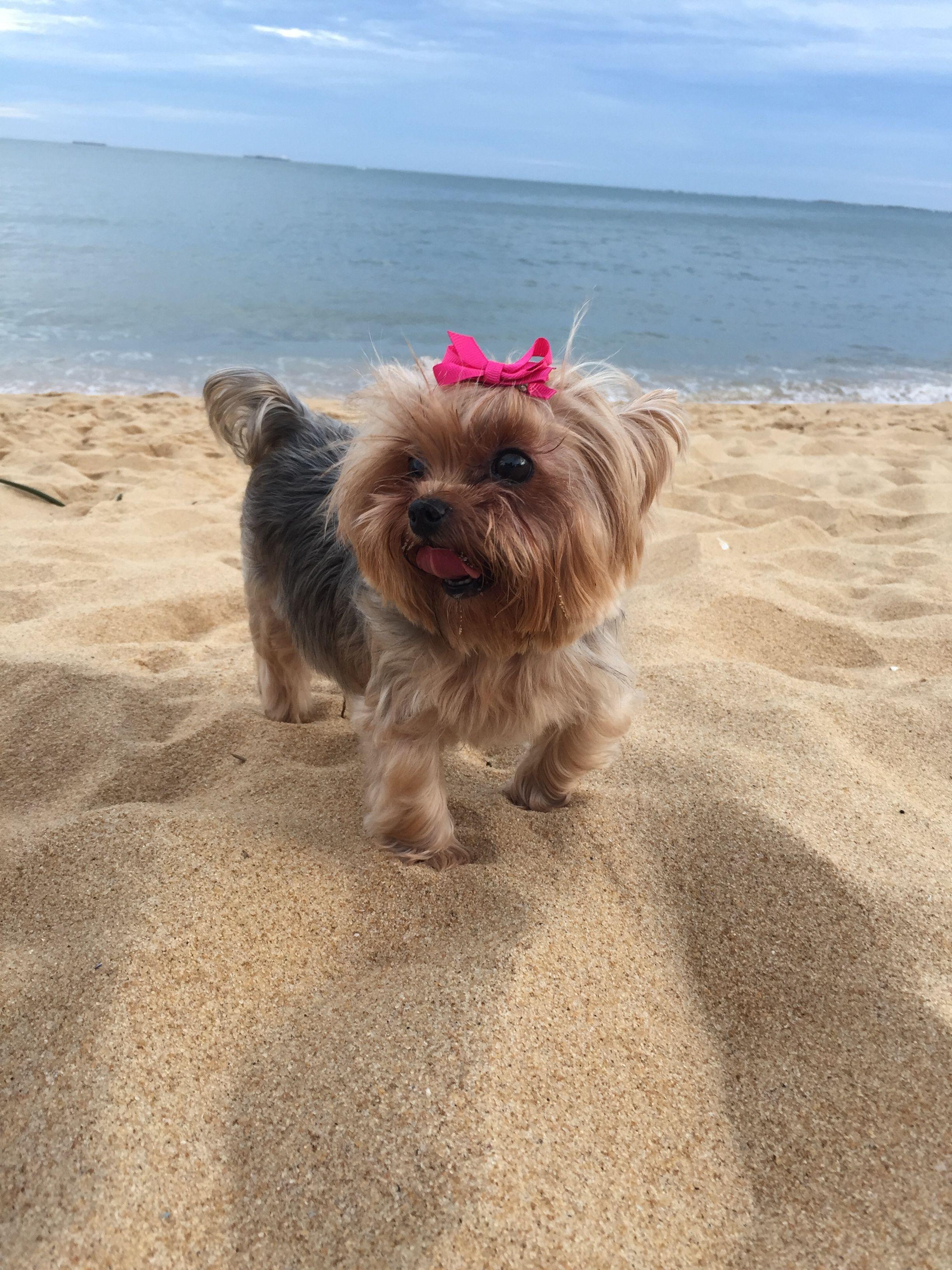 Duquesa De York Yorkshire Praia Da Costa Vila Velha Brasil Yorkie Animals Dogs