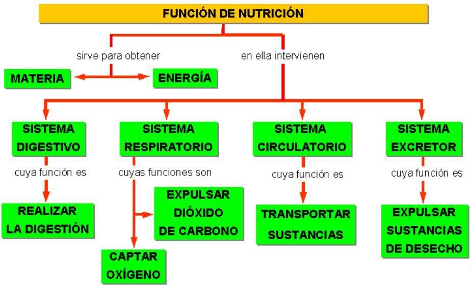 Aquí tenéis un mapa conceptual sobre la nutrición con las funciones ...