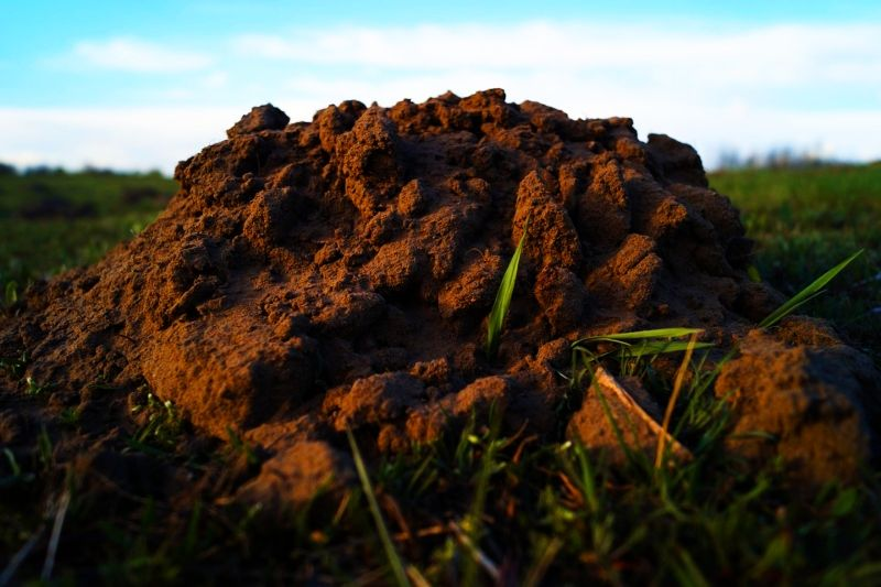 Get rid of moles burrowing animals with dawn dish soap