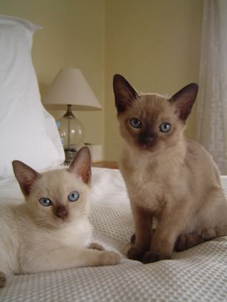 Ragdoll Kittens Purebred For Sale Adoption From Korumburra Victoria Adpost Com Classifieds Australia 5156 R Cat Adoption Kitten Adoption Ragdoll Kitten