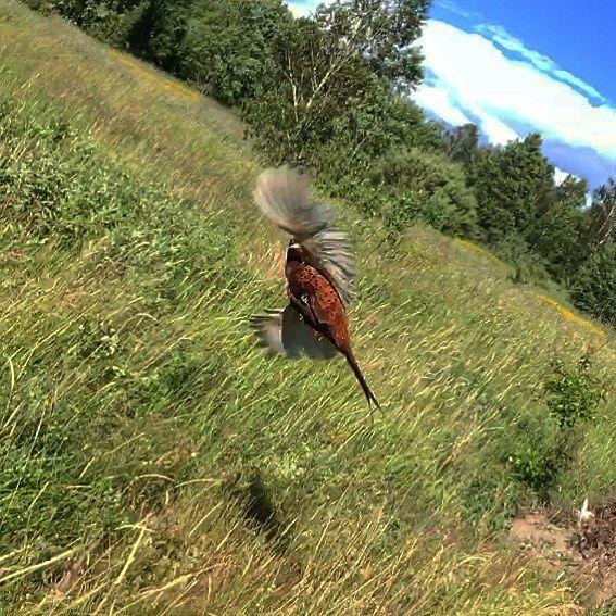Mötte en fasan på en promenad. Höll på att skita ner mognar den lyfte...����  http://misstagram.com/ipost/1552845990448090572/?code=BWM0TNzjE3M