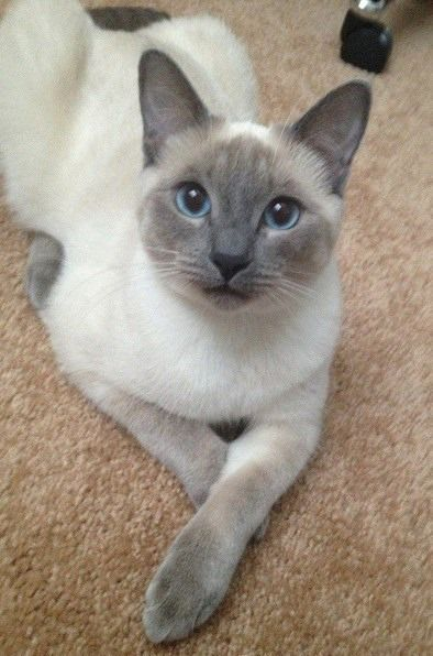 Kitten Cat Kitty Kitteh Chat Pretty cats, Siamese cats