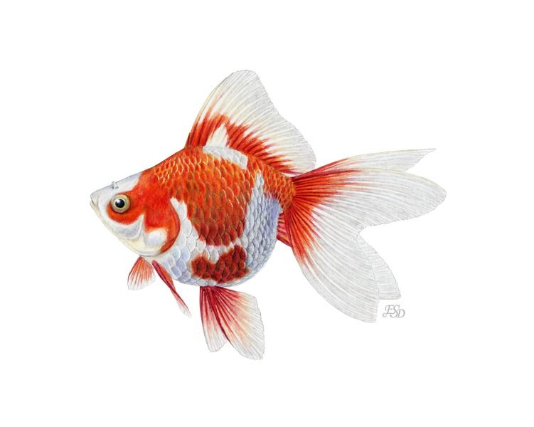 Japanese Ryukin Goldfish By Emily S Damstra On Artfully Walls Ryukin Goldfish Goldfish Art Goldfish