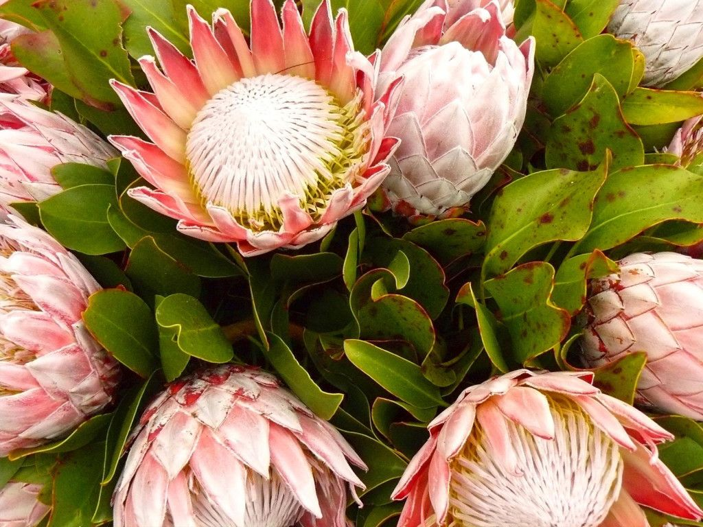 Growing Proteas The South African National Flower
