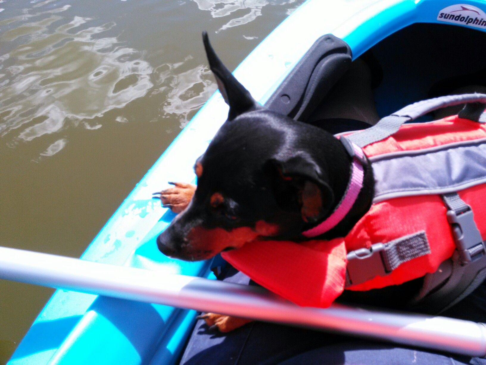 Pin By Kayak Girl On Mini Pins And Weiner Dogs Weiner Dog Dogs Boston Terrier
