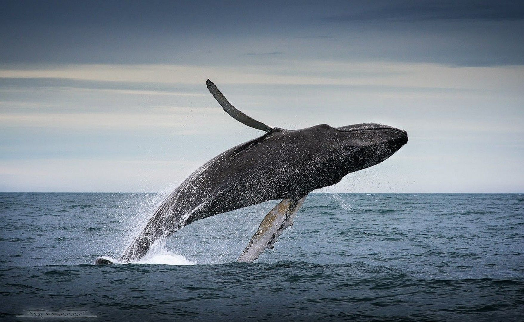 HD Humpback Whale Wallpaper