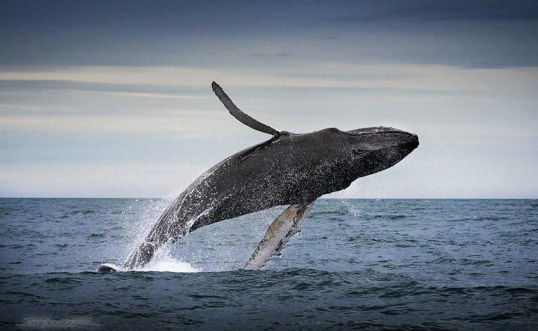Hd Humpback Whale Wallpaper Whale Humpback Whale Animals