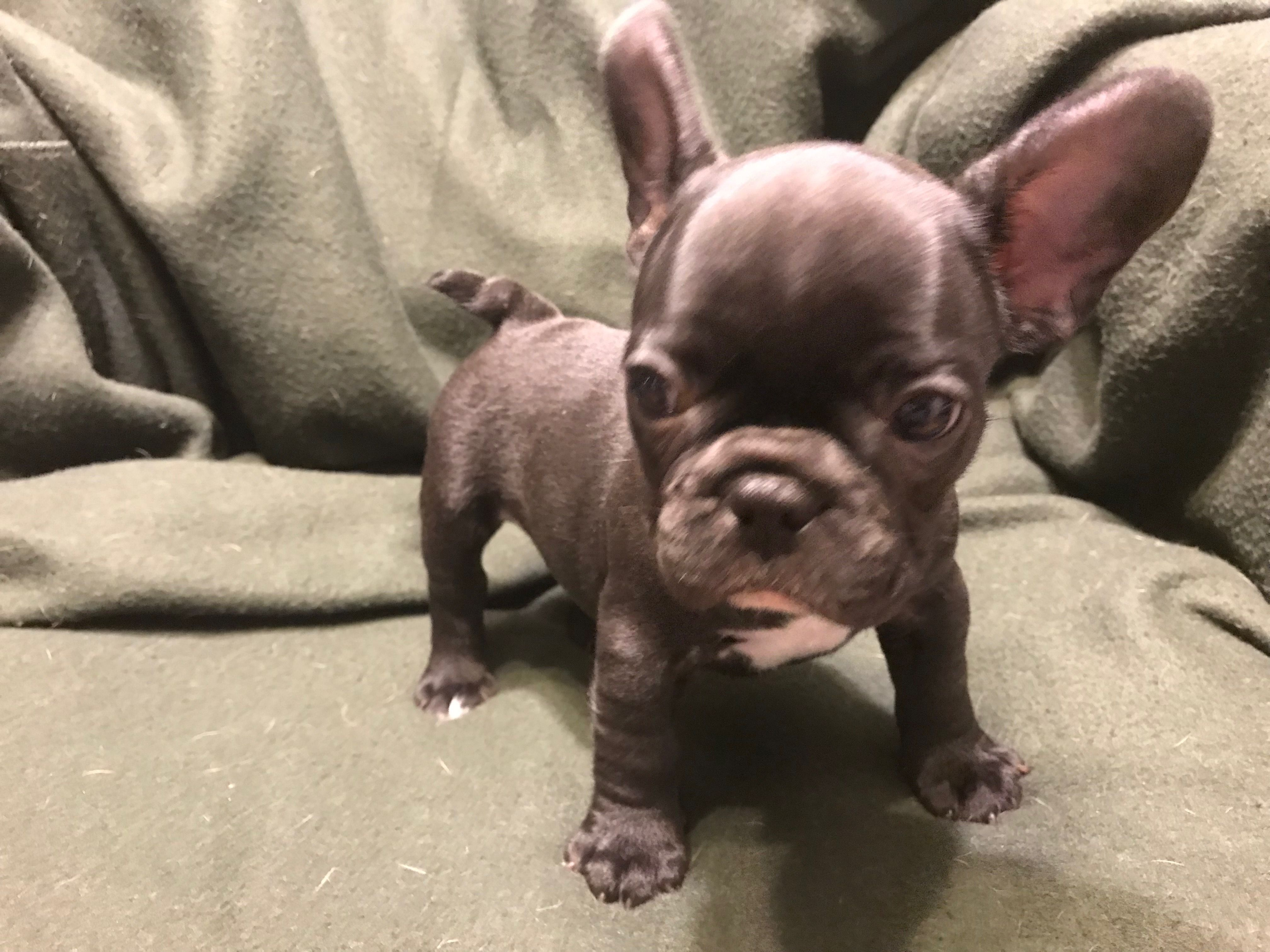 Pin by Carlos Mona on Luna's space French bulldog