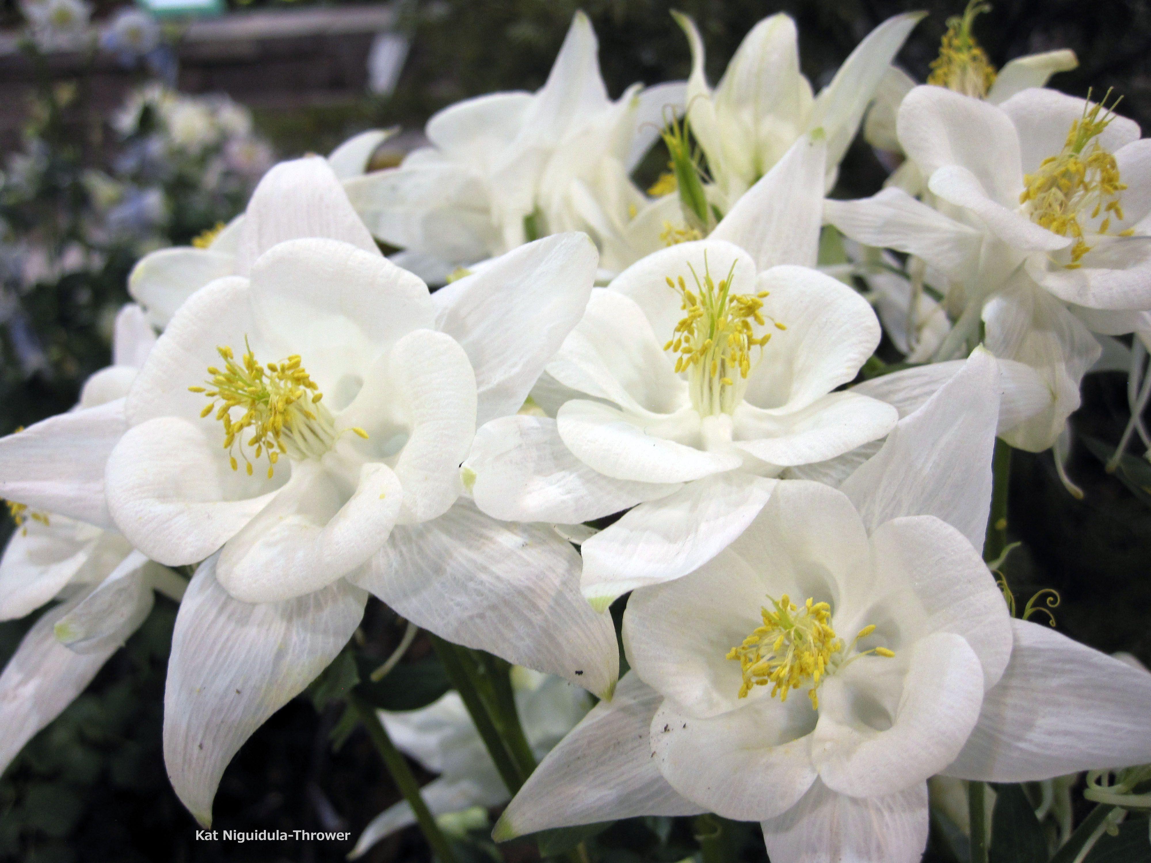 Pin On Columbine Flowers