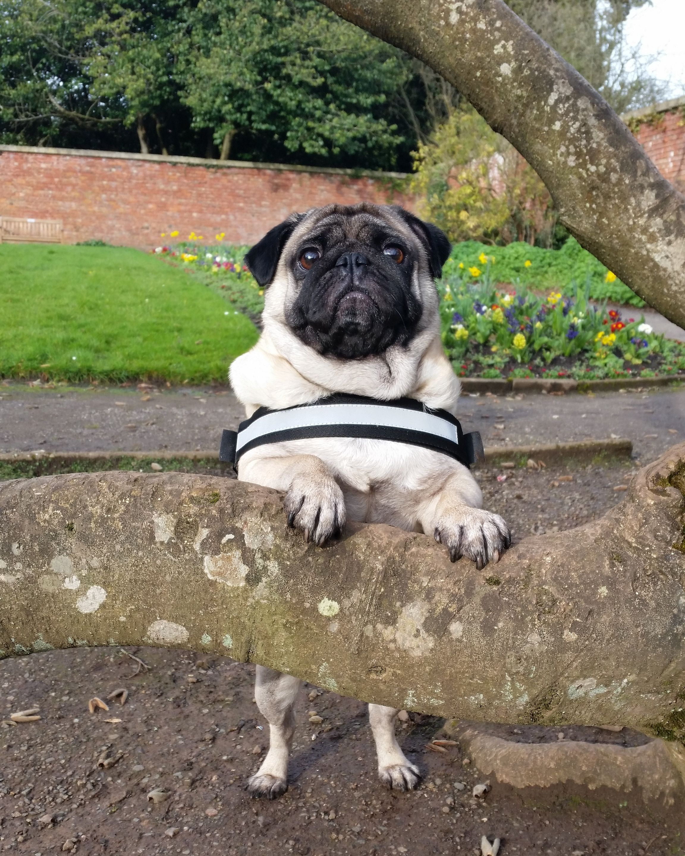 One Of My Favourite Photos Of Him Http Ift Tt 2detyix Pugs