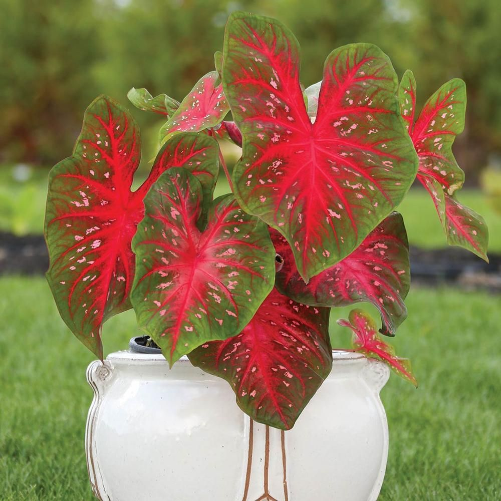 Caladium Fancy Red Flash Ann And Perenn For Shade Pinterest