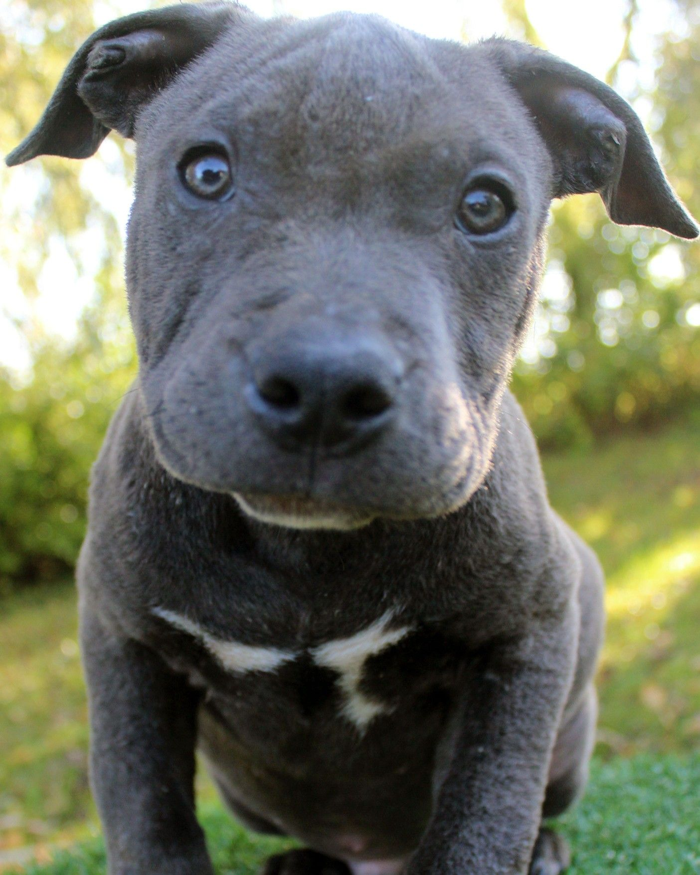 Here is a photo of an amazing male blue pitbull puppy that