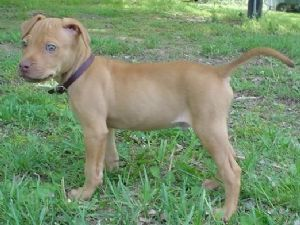 Tan American Pitbull Terrier Puppy American Pitbull Terrier