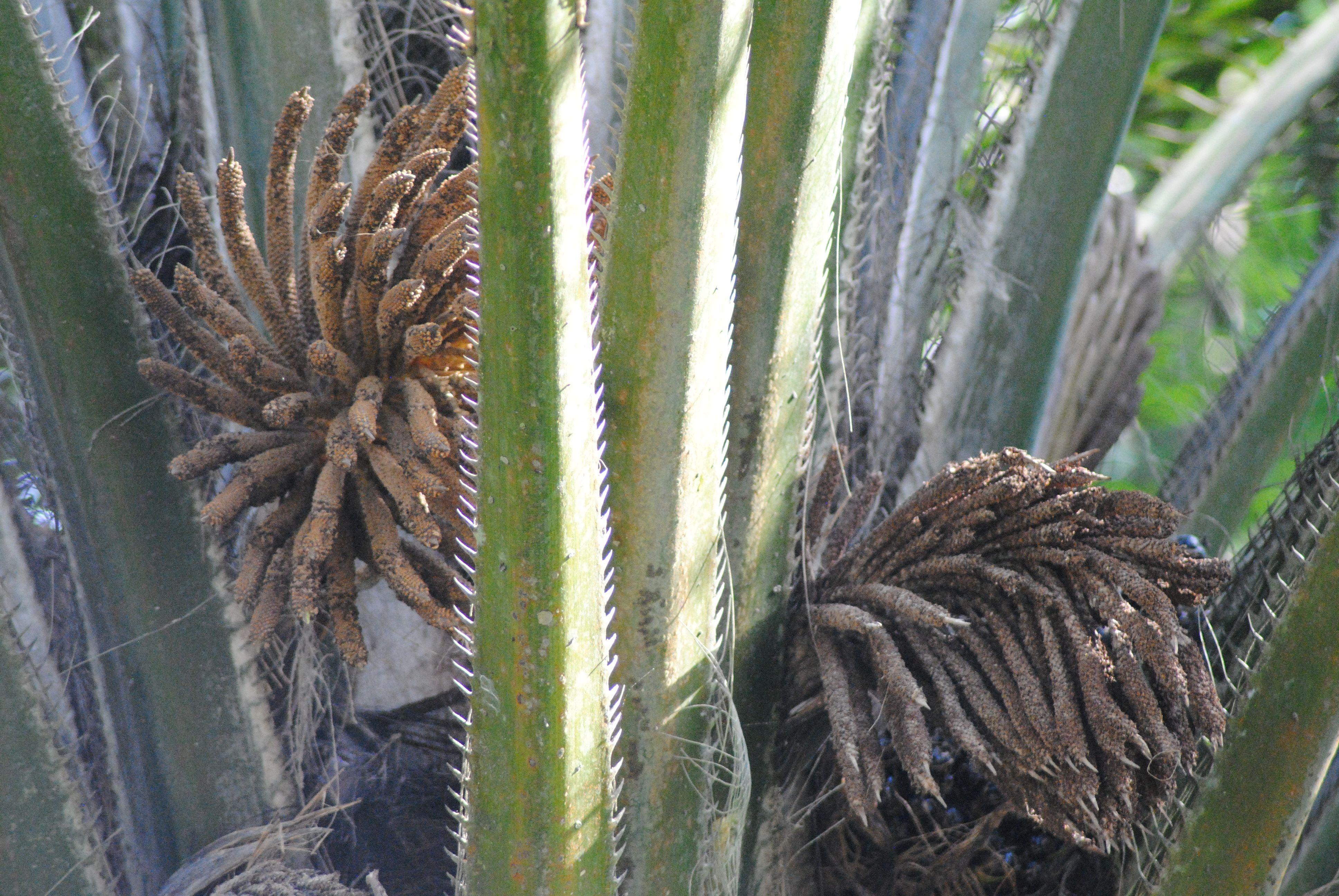 Begin palmvrucht