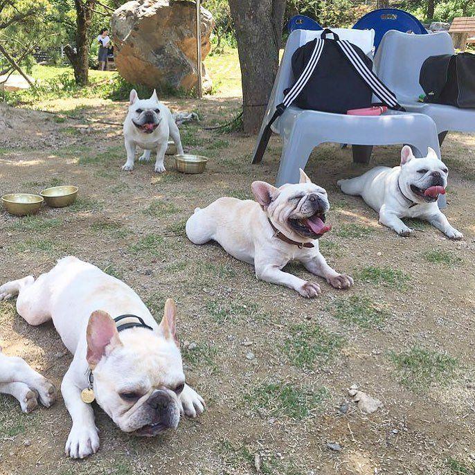 이건.#바글바글크림판 🐶🐶ㅋㅋㅋㅋㅋ 넘나행복 😢❤️❤️❤️❤️ #인천개공원#모모새끼들모임 . #frenchbulldog #family #bully #bulldog #dog #dogstagram #daily #puppy #frenchielove#pet #프렌치불독 #프랜치불독 #독스타그램 #강스타그램 #스탠다드프렌치불독...