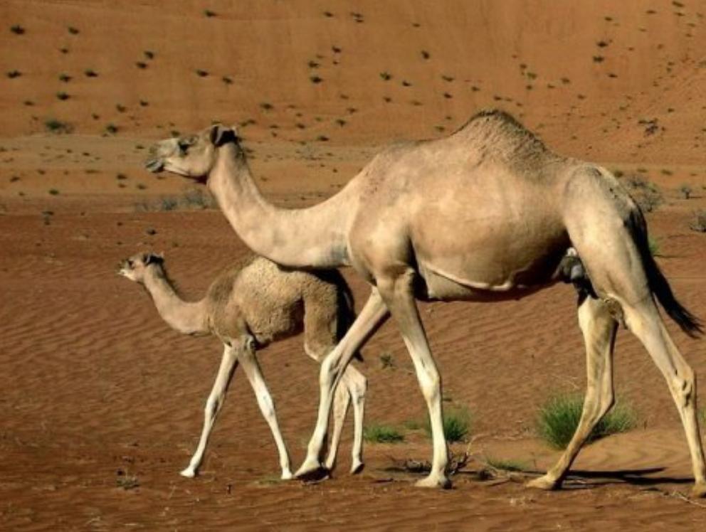 Pin on Camilidae (Camels, Llamas, Alpacas, Vicuñas