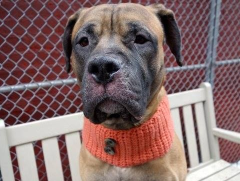 TO BE DESTROYED - 03/16/15 Manhattan Center -P  My name is TEDDY. My Animal ID # is A1029564. I am a male tan and white bullmastiff and pit bull mix. The shelter thinks I am about 1 YEAR 8 MONTHS old.  I came in the shelter as a OWNER SUR on 03/06/2015 from NY 10035, owner surrender reason stated was TOO MANY P. https://www.facebook.com/photo.php?fbid=975415105804702