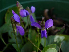 Photo: Viola hirta à double éperon (pélorie)