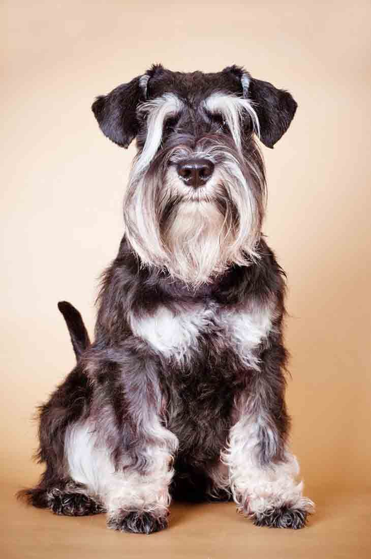 Mini schnauzer female dog names
