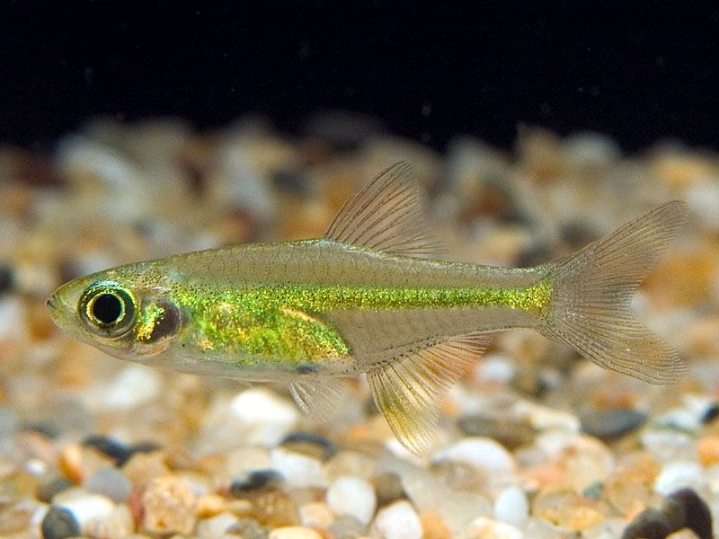 Microdevario Kubotai Microrasbora Kubotai Neon Tetra Fish Aquarium Fish Tropical Fish Aquarium